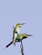 Rainbow Bee-eater (Image ID 36853)