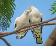 Torresian Imperial-Pigeon (Image ID 37084)