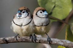 Double-barred Finch (Image ID 37103)