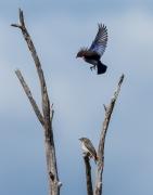 Mistletoebird (Image ID 37086)