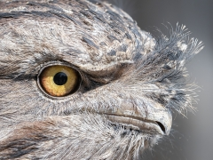 Tawny Frogmouth (Image ID 37211)