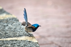 Red-winged Fairy-wren (Image ID 37194)