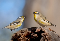 Striated Pardalote (Image ID 37100)
