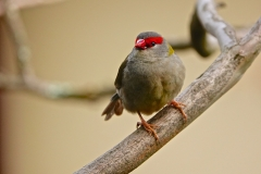 Red-browed Finch (Image ID 37172)