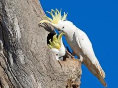 Sulphur-crested Cockatoo (Image ID 37052)