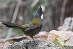 Eastern Whipbird (Image ID 37065)