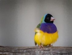 Gouldian Finch (Image ID 37196)