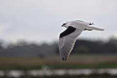 Black-shouldered Kite (Image ID 37171)