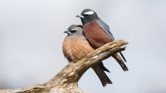White-browed Woodswallow (Image ID 37206)