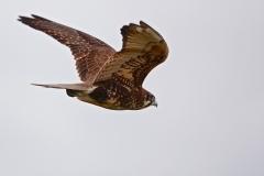 Brown Falcon (Image ID 37169)