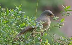 Satin Bowerbird (Image ID 37060)