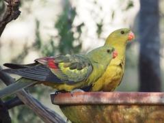 Regent Parrot (Image ID 37082)