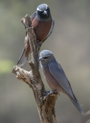 White-browed Woodswallow (Image ID 37073)