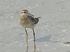 Sharp-tailed Sandpiper (Image ID 37056)