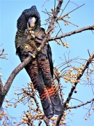 Red-tailed Black-Cockatoo (Image ID 37375)