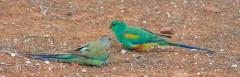 Mulga Parrot (Image ID 37079)