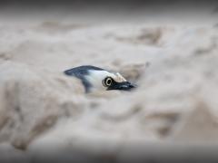 White-faced Heron (Image ID 37045)