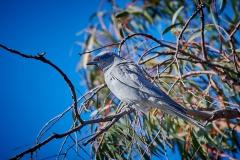 Black-faced Cuckoo-shrike (Image ID 37482)