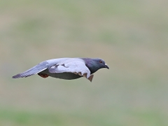 Rock Dove (Image ID 37626)