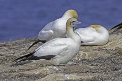Cape Gannet (V) (Image ID 37878)