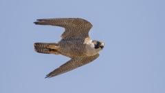 Peregrine Falcon (Image ID 37759)