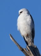 Black-shouldered Kite (Image ID 37712)