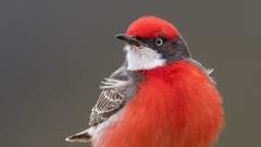 Crimson Chat (Image ID 37683)