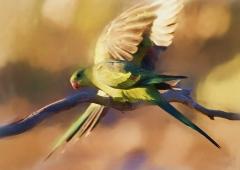 Regent Parrot (Image ID 37720)