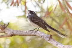 Grey Fantail complex (Image ID 37678)
