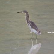 Javan Pond Heron (Image ID 37520)