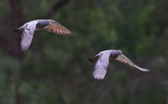Rock Dove (Image ID 37624)