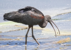 Glossy Ibis (Image ID 37466)