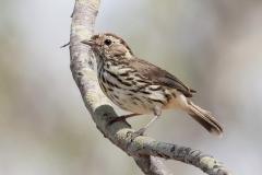 Speckled Warbler (Image ID 37609)