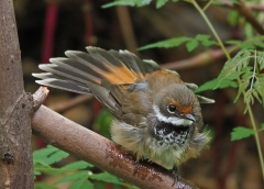 Rufous Fantail complex (Image ID 37635)