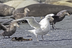Southern Giant-Petrel (Image ID 37923)