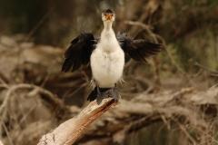 Little Pied Cormorant (Image ID 38167)