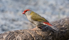 Red-browed Finch (Image ID 37986)