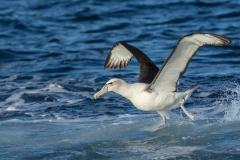 Shy Albatross (Image ID 38366)