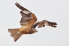 Square-tailed Kite (Image ID 37931)