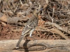 Spotted Bowerbird (Image ID 38209)