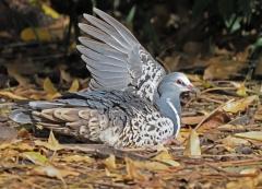 Wonga Pigeon (Image ID 38224)