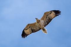 White-bellied Sea-Eagle (Image ID 38110)