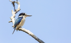 Forest Kingfisher (Image ID 38274)