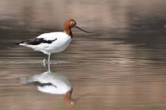 Red-necked Avocet (Image ID 38285)