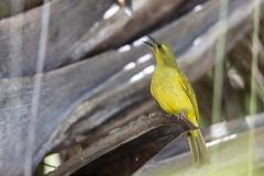 Yellow Honeyeater (Image ID 38276)