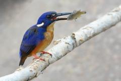 Azure Kingfisher (Image ID 38268)