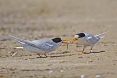 Fairy Tern (Image ID 38228)