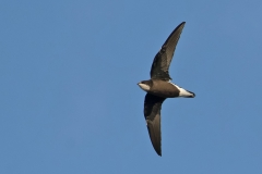 White-throated Needletail (Image ID 38515)
