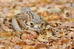 Bush Stone-curlew (Image ID 38266)