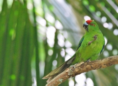 Red-fronted Parakeet (Image ID 38306)